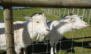 Our Animals - Crystal and Snowdrop the goats