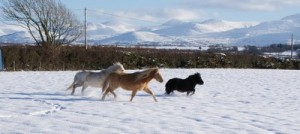 Our Animals - Ponies in the Snow